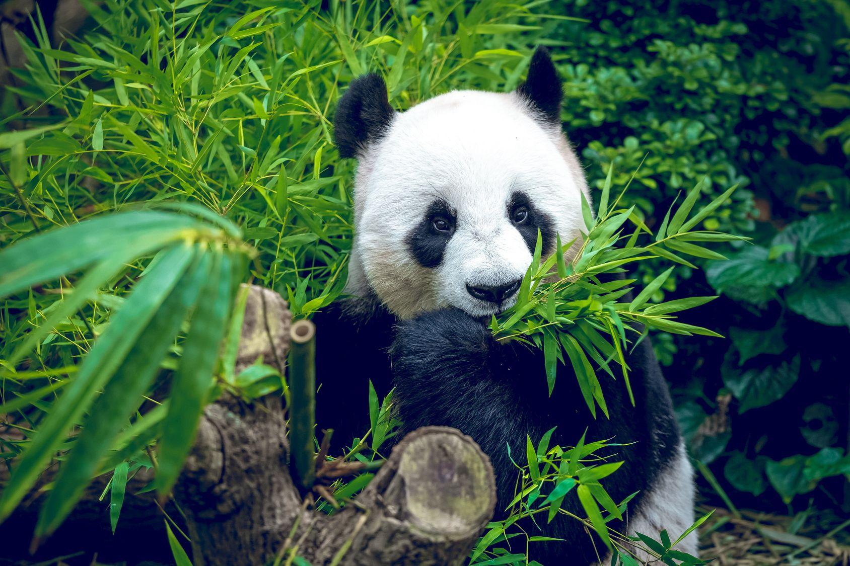 Bis zu 30 Kilogramm #Bambus kann ein Pandabär am Tag verdrücken - ganz schöne Nimmersatte. #Fakten