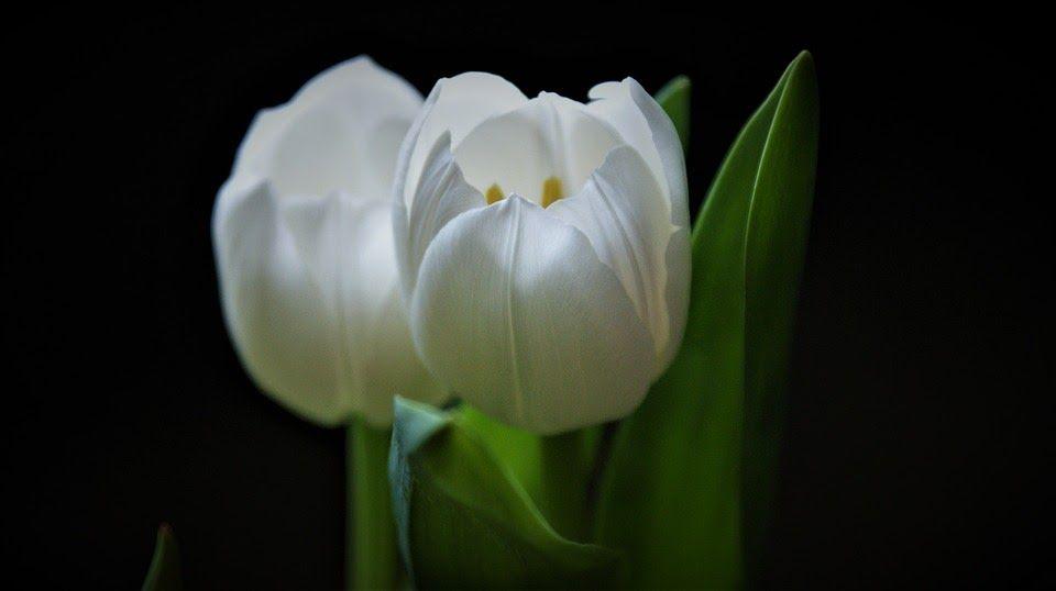 Fantastis 22 Gambar Bunga Tulip Putih Produsen Terbesar Bunga Tulip Adalah Negara Belanda Karena Disana Ada Banyak Sekali Bung Gambar Bunga Bunga Tulip Bunga