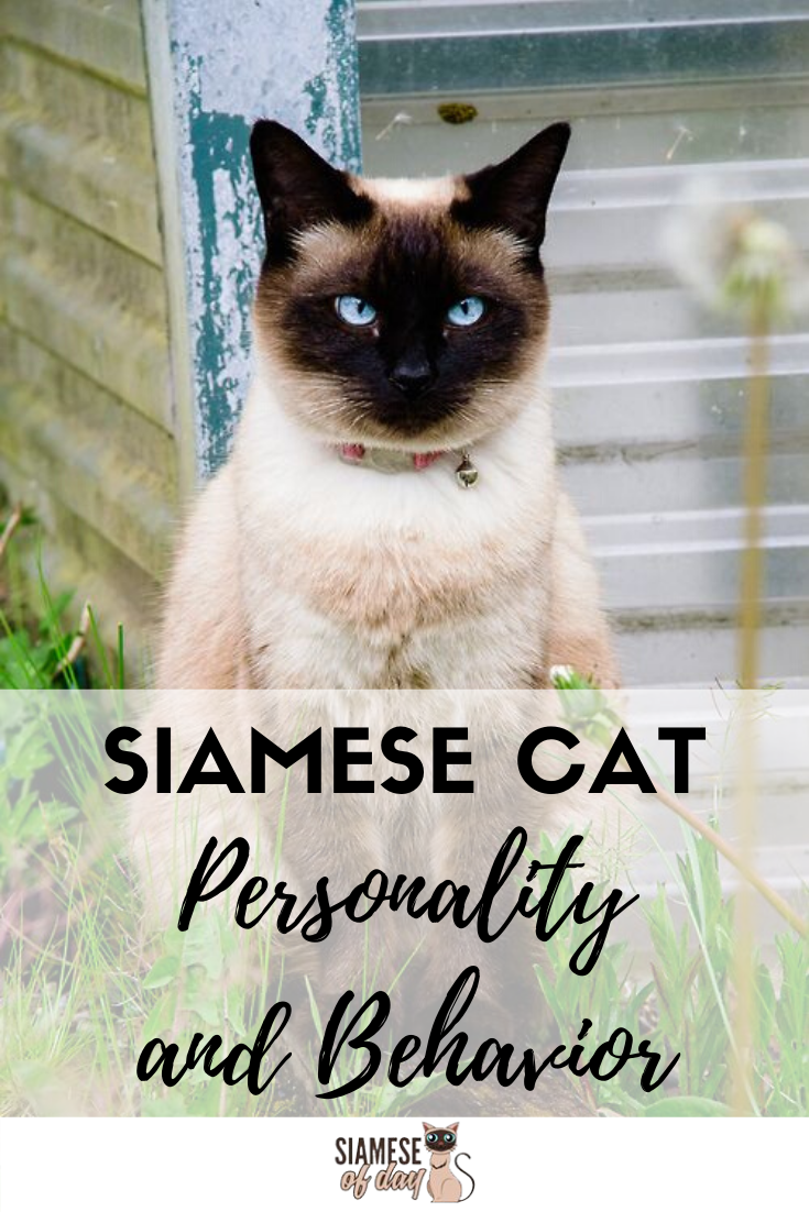 Siamese Cat Personality and Behavior Siamese cats, Cat