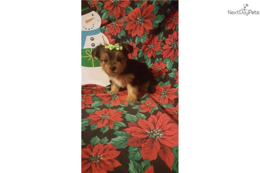 Yorkshire Terrier Yorkie Puppy For Sale Near Cincinnati Ohio