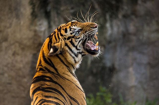 Free Image on Pixabay Tiger, Cat, Big Cat, Animal