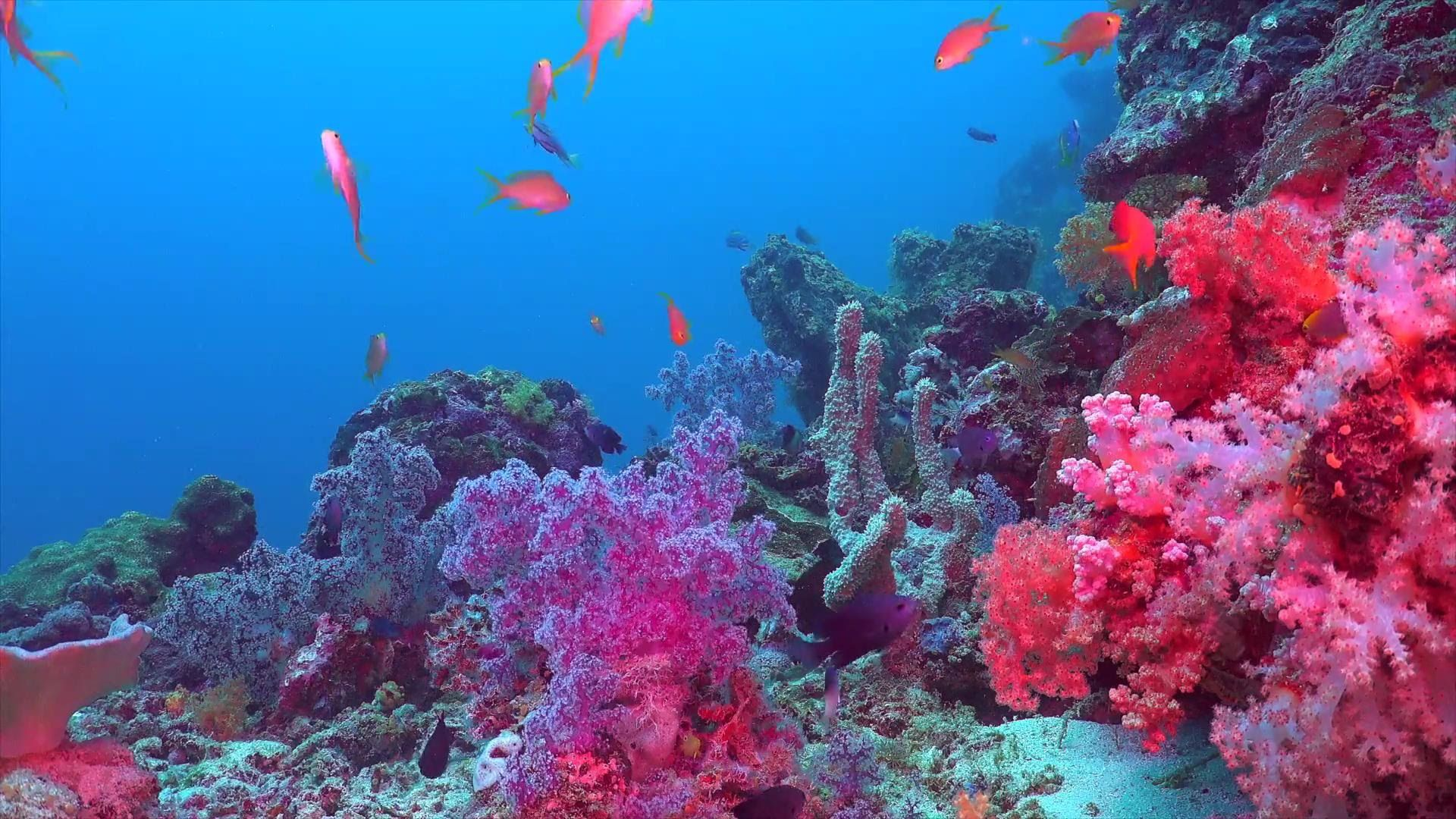 amberfern × coral reef (relaxing scenes of the underwater scenery