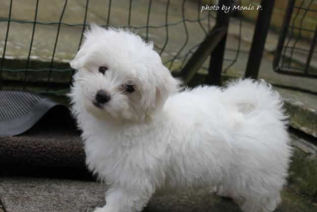 Maltese Puppies Cute Cats Dogs Maltese Dogs Cute Little Animals