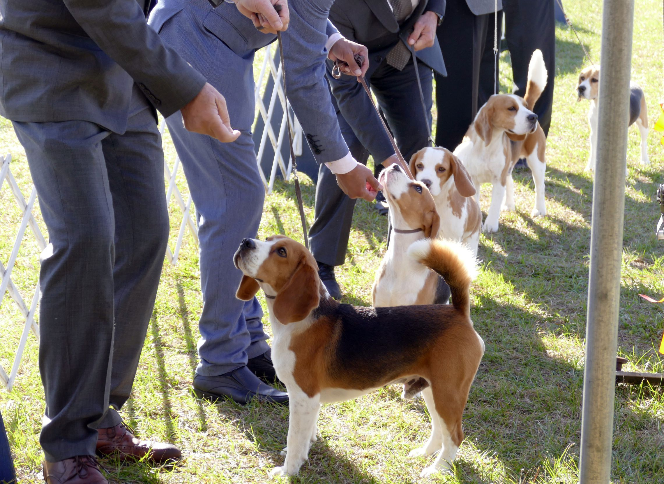 Woof Woof 15 000 Times Woof In 2020 Dog Show Beagle Canine Family