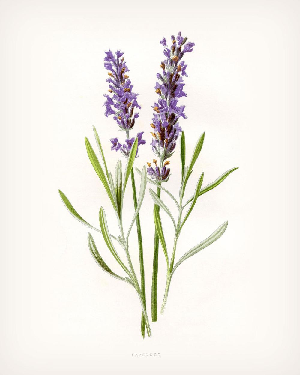 Lavender Print Vintage Lavender Art 4 Sizes Antique Etsy In 2020 Flower Drawing Flower Art Botanical Prints