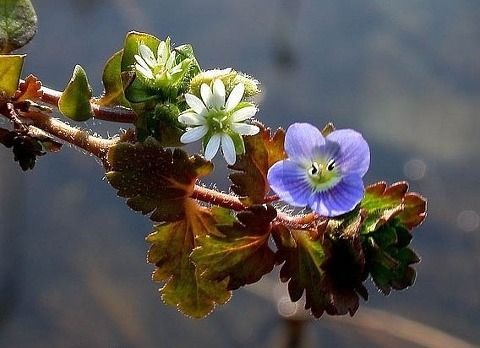 쇠별꽃과 봄까치