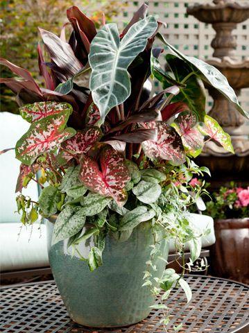 Shade Container garden Cordyline Ti Plant Caladium Alocasia African Mask Silver Dragon