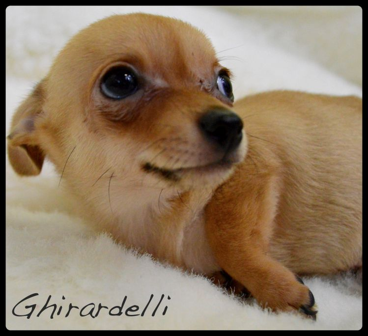 Adopt Ghirardelli On Adopted Chihuahua Dogs Puppies Adoption