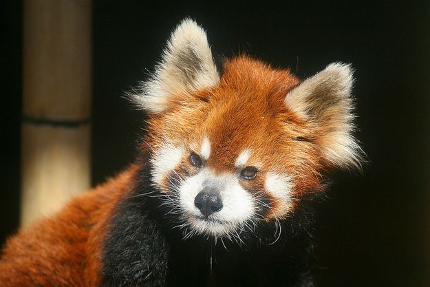 Or angry.   Animals March Madness, Round One: Chameleons Vs. RedPandas