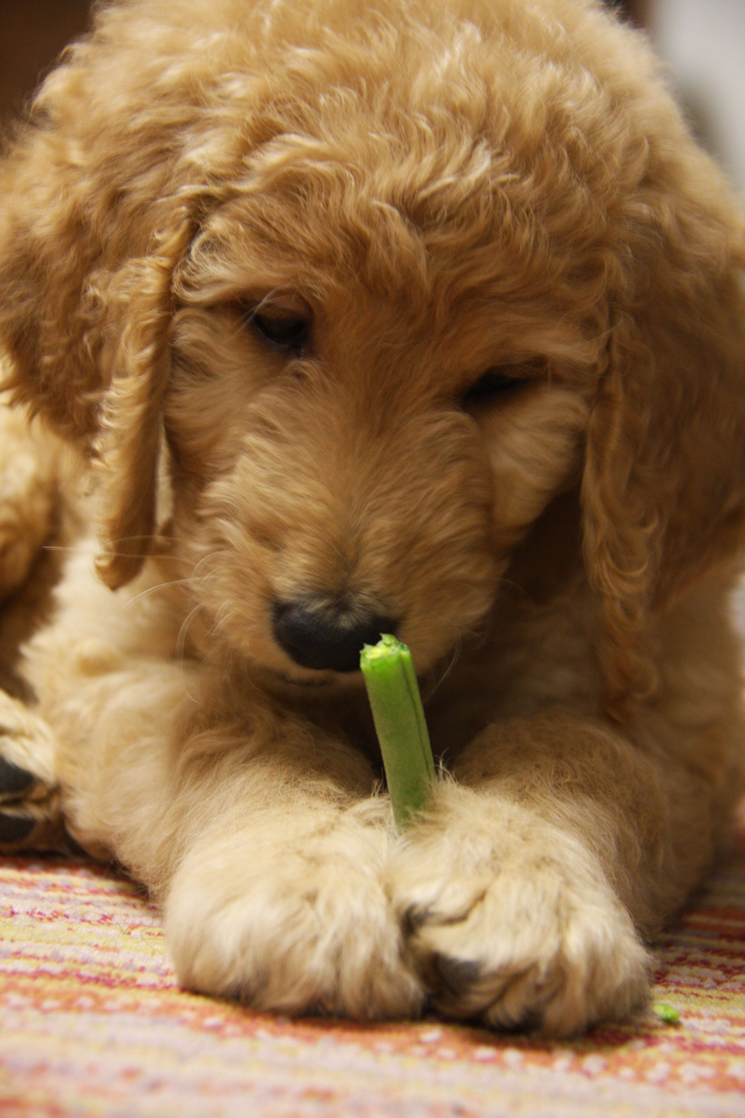 Pin on Jagger my Goldendoodle