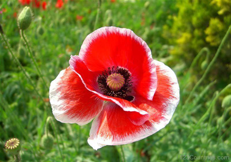 National Flower Of Poland -Corn Poppy | Poppy flower ...