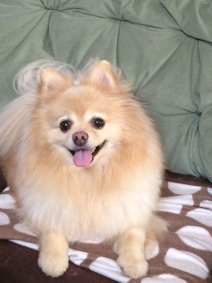 My Pomeranian Pomme Pomeranian Puppy Puppies Pomeranian Dog