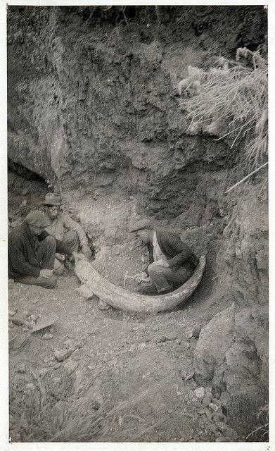 Men digging out an eight-foot-long tusk of a mastodon, determined to be a large specimen of an Imperial Elephant. The fossil was discovered at the edge of the bluff just northwest of Malaga Cove School in April of 1927 by Dr. F.H. Racer of Lomita. The  tusk was mounted in plaster of Paris and shellacked for exhibit in the Palos Verdes Project sales office at Malaga Cove.