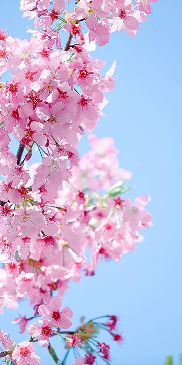Sakura Vertical Version Of Cherry Blossom Photography Romantic Pink Phone Wallpaper