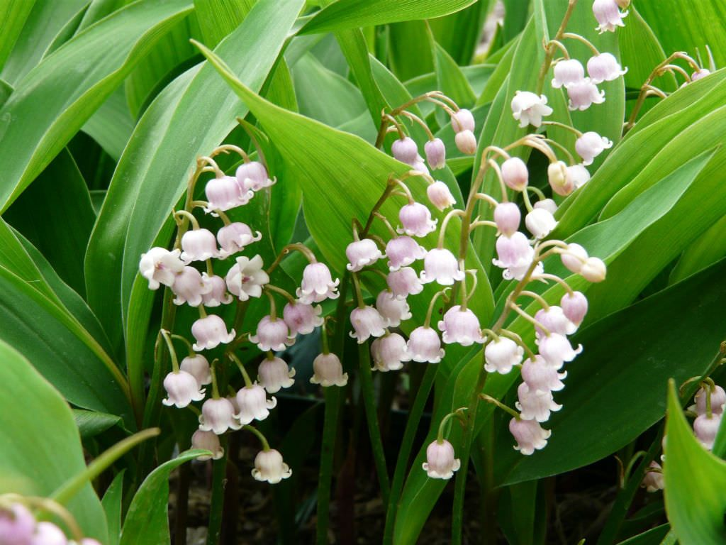 Convallaria Majalis Var Rosea World Of Flowering Plants Planting Flowers Pink Lily Plants