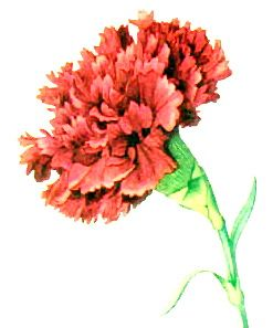 Spain The National Flower Of Spain Is Considered To Be The Carnation Spanish Clavel Essentially It Is As Red Carnation Carnations Small Shoulder Tattoos