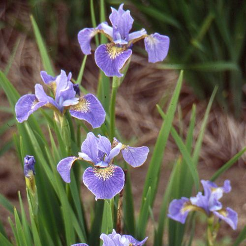 Pepiniere Lepage Encyclopedie Detail Plante Iris Sibirica Mountain Lake Showy Flowers Variegated Plants Wild Iris