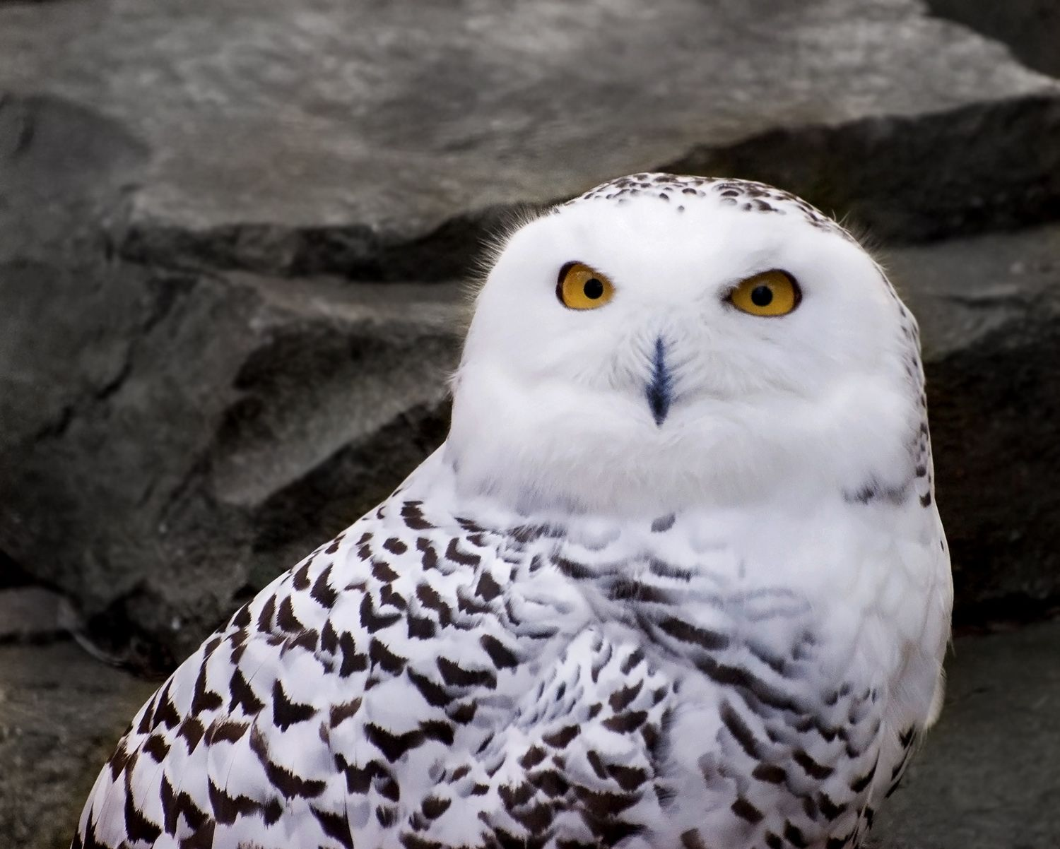 Snowy owls migrating from arctic to beaches salt marshes snowy beautiful birds biocorpaavc Choice Image