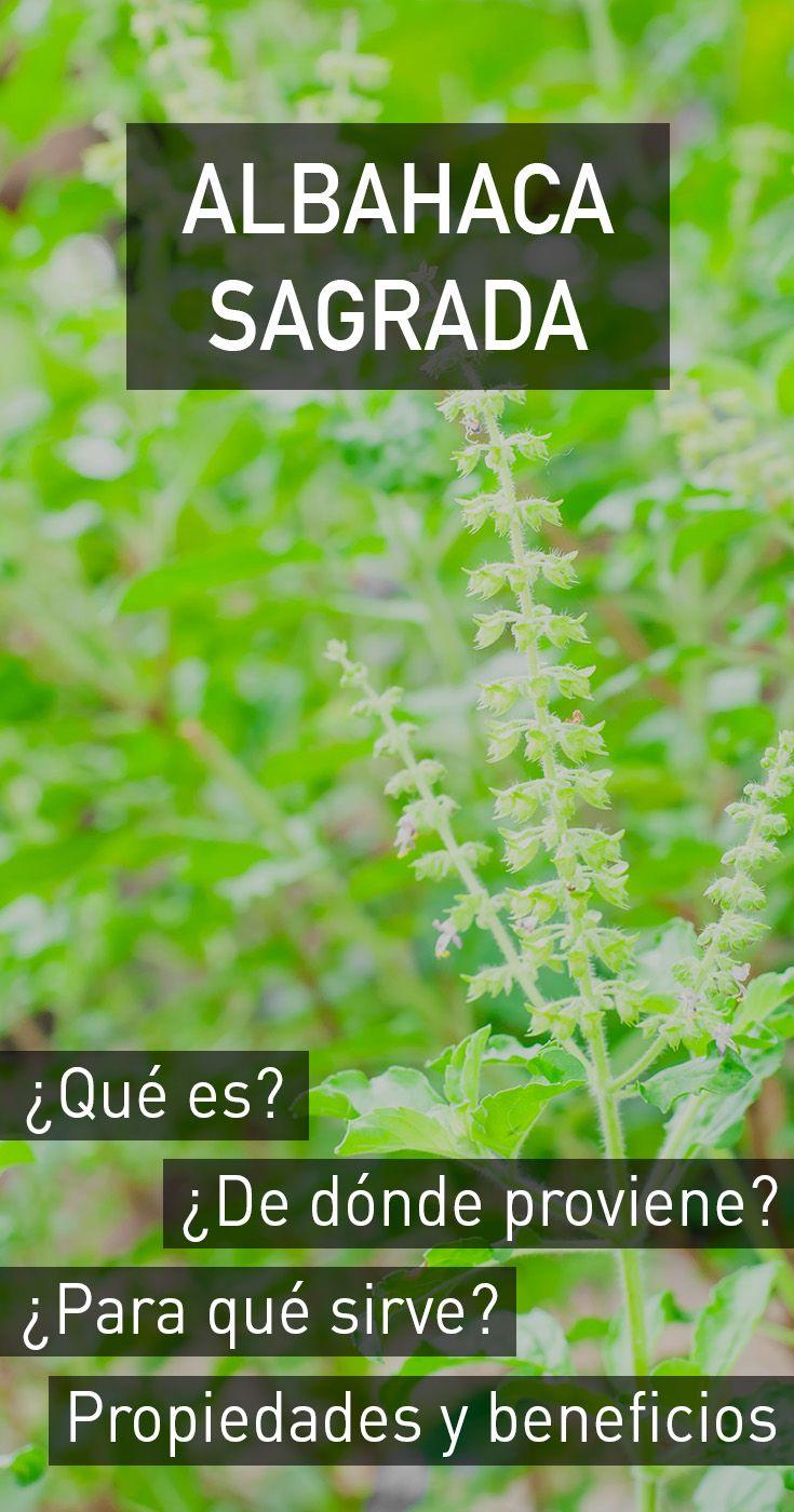 Albahaca sagrada propiedades beneficios para la salud for Planta decorativa con propiedades medicinales