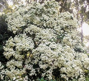 Empress Of China Dogwood Buy Plants Online Potted Trees Buy Plants