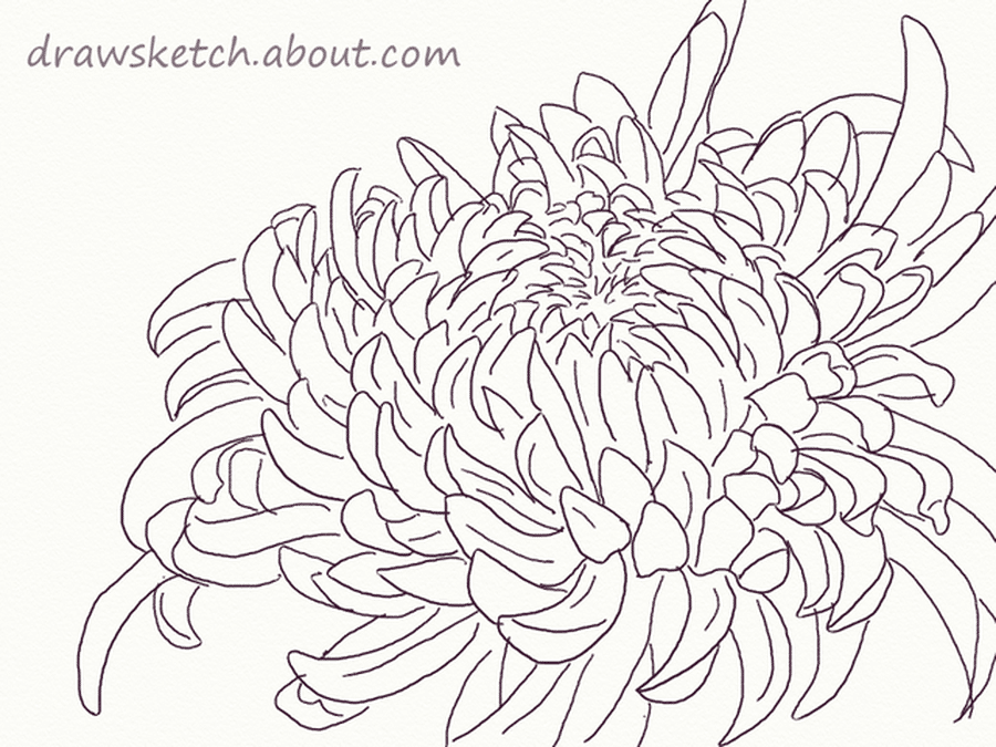 Anyone Can Draw A Beautiful Chrysanthemum Chrysanthemum Drawing Chrysanthemum Flower Drawing Flower Drawing