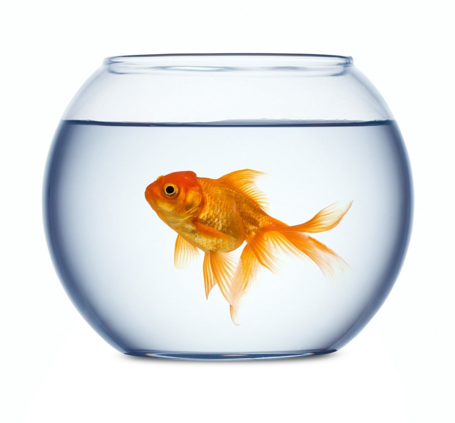 Perspective Breeding Ponds In College Park Md Once Kept The U S Awash In Goldfish Goldfish Glass Fish Bowl Colorful Fish