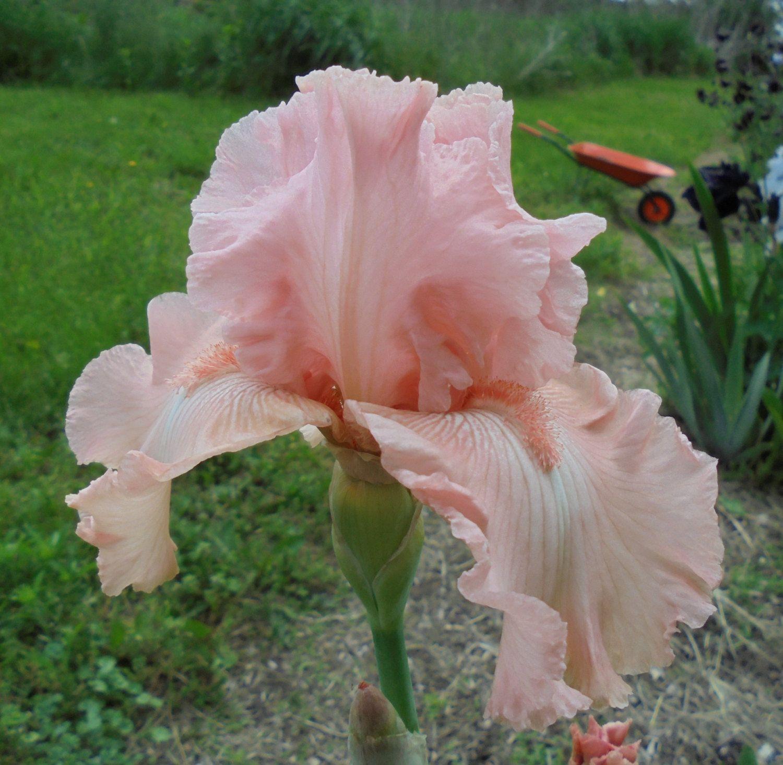 Anna Bell Babson Beautiful Pink Iris Perennial Garden Plant
