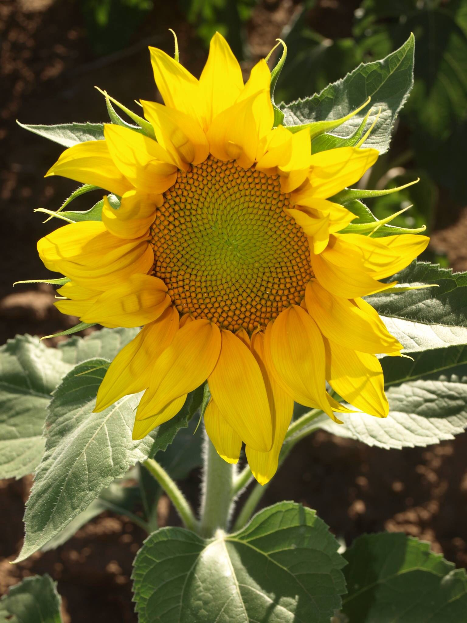Miss Sunflower Sunflowers and daisies, Sunflower, Yellow