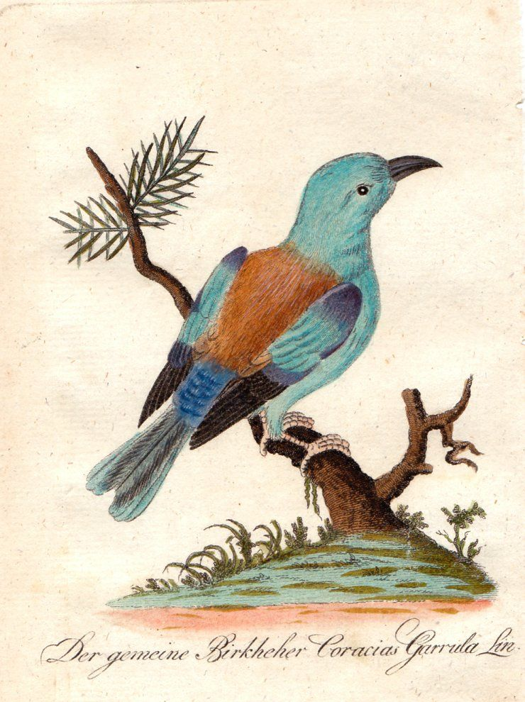A superb hand coloured engraved antique Natural History Bird print ...