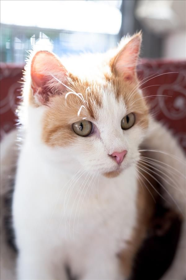 Hey There I M Gina I M A Sweet Cat Looking For A Forever Home Could It Be Yours You Can Find Me In Ipswich Http Bit Ly 2o7bmel Animals Cats Adoption