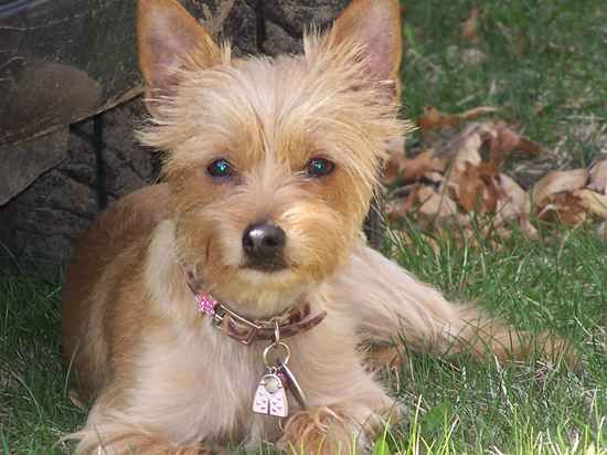 Chorkie Adult Dog Mixed Breed Dogs Dogs Chihuahua Terrier Mix
