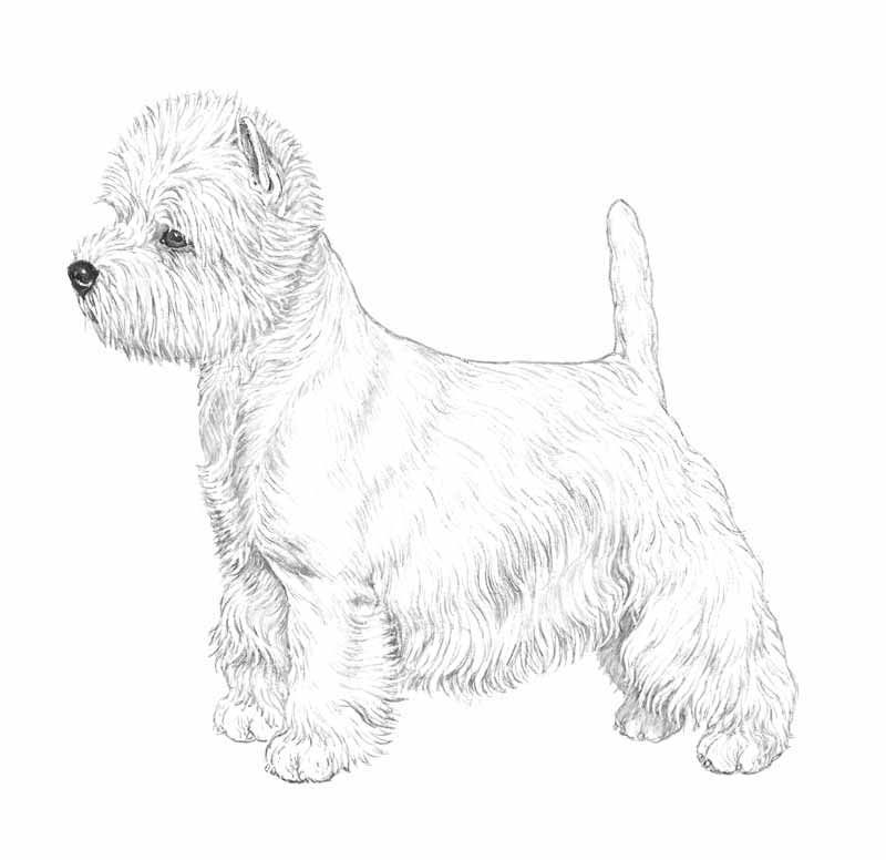 west highland terrier coloring pages west highland white