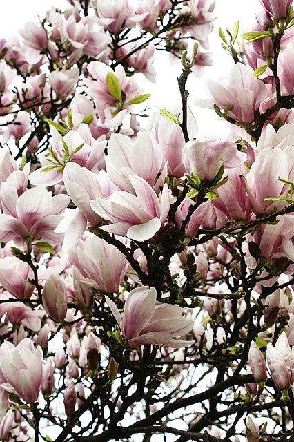 Magnolia Con Imagenes Magnolias Arbol Flores Bonitas Flores Increibles