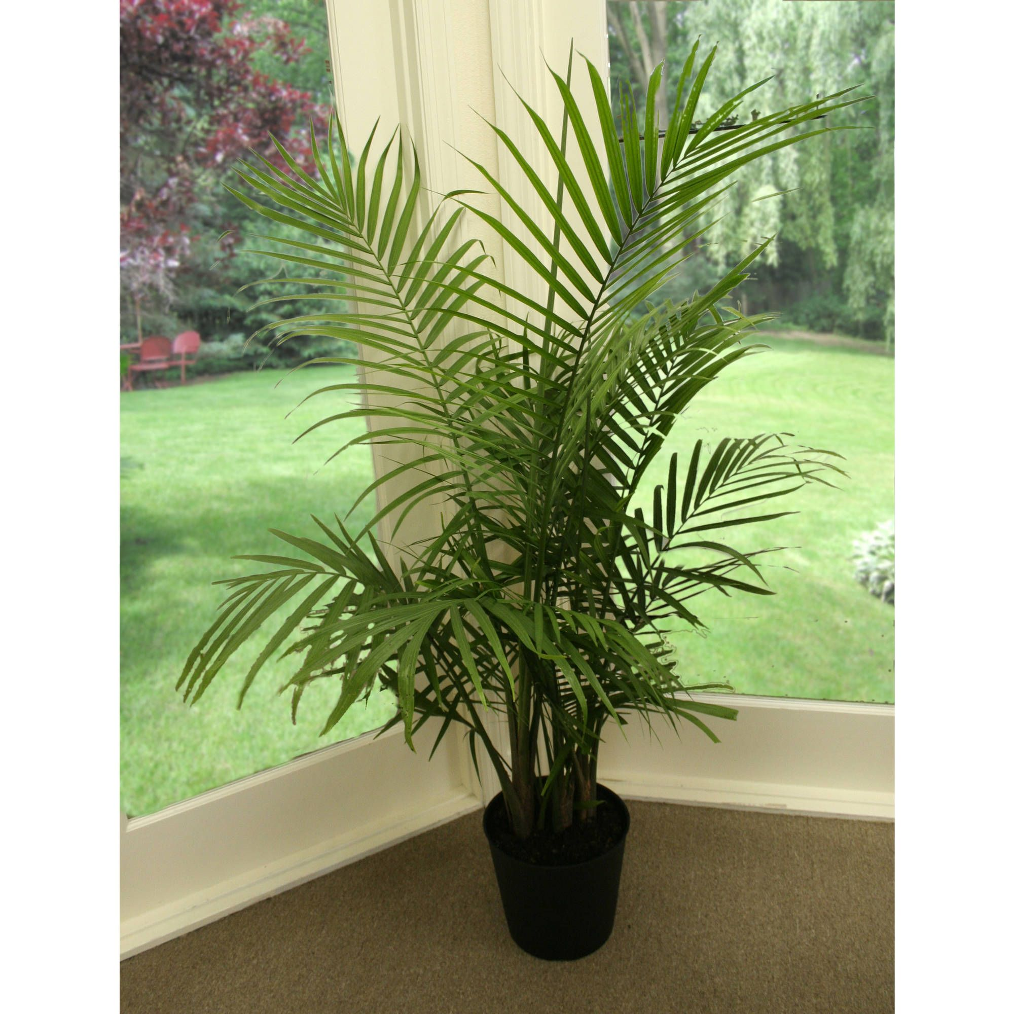 majesty palm plants for cats majesty palm plants cat plants. Black Bedroom Furniture Sets. Home Design Ideas