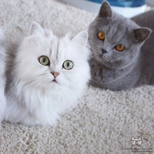 From Bourbonvanilla777 Hello Everyone Were Bella Traditional Persian Silver And Mia British Shorthair B Cute Cats And Kittens British Shorthair Cats Cats