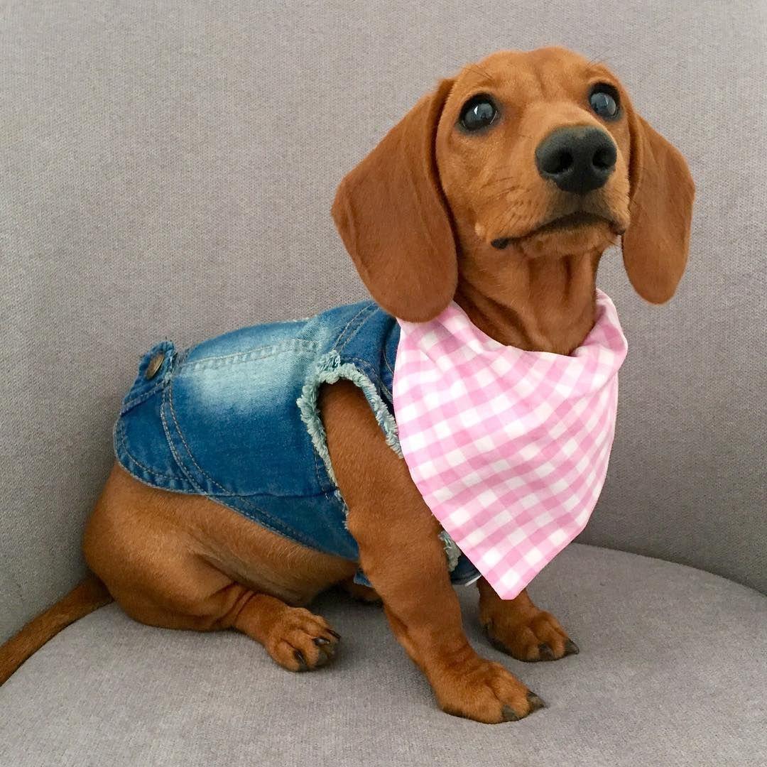 Little Daisy Dachshund Littledaisydachshund Instagram Photos And Videos Dachshund Clothes Dachshund Puppies Dachshund Dog
