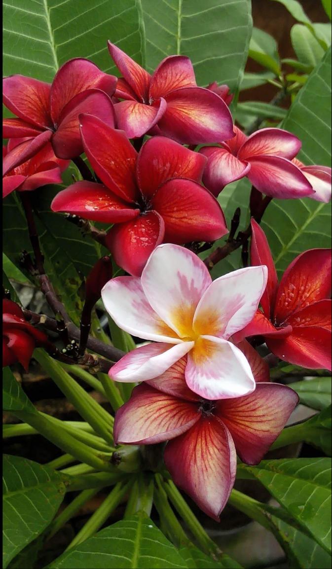 Pin By Betsy Braddock On Kai Plumeria Flowers Flower Photos Beautiful Flowers