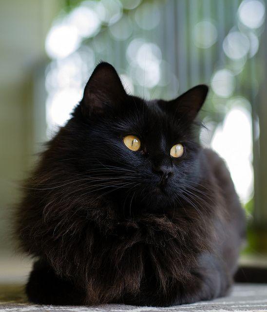 Fluffy black cat that looks like Sam! Fluffy black cat