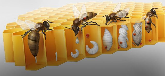BIO-ANATOMIA DE LA VARROA JACOBSONI - BIO-ANATOMY OF THE VARROA ...