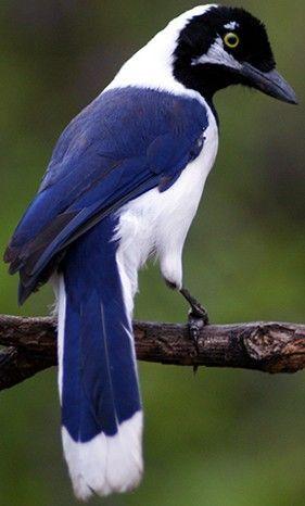 Whitetailed Jay: