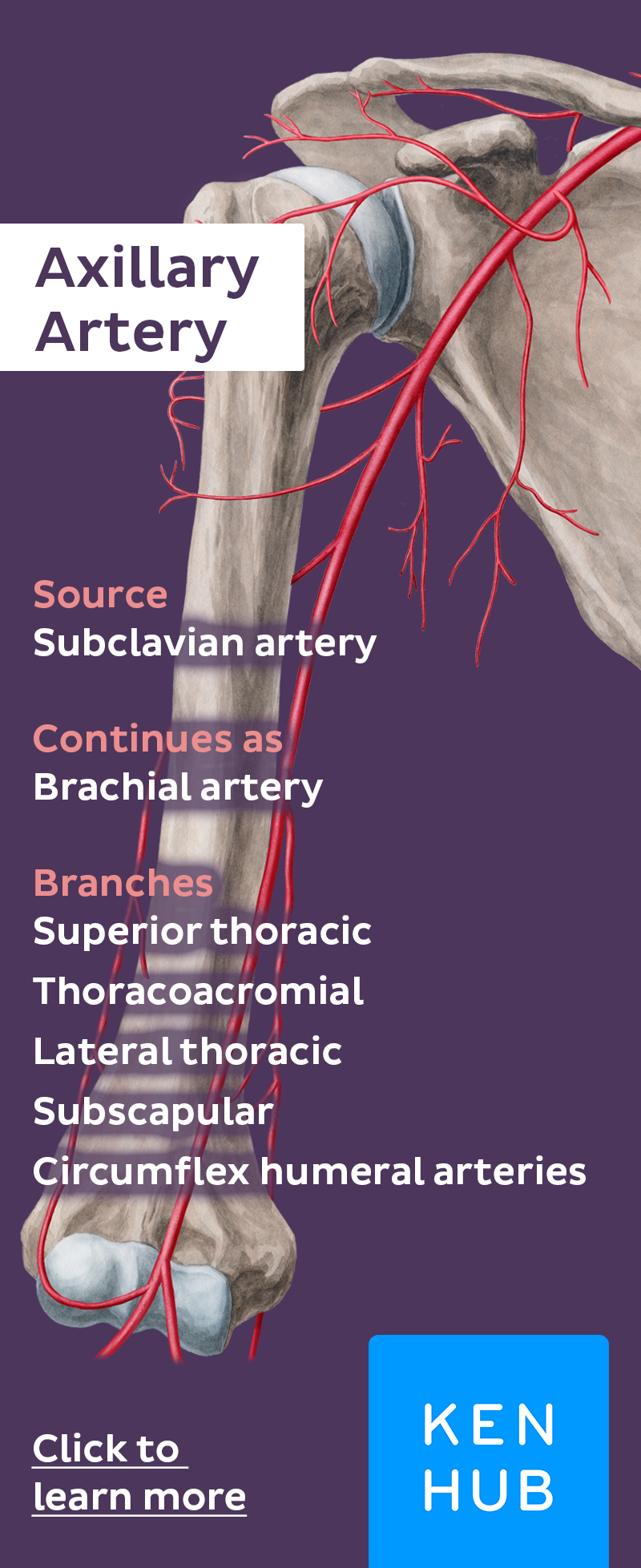 Axillary Artery Anatomy Medical And Medicine
