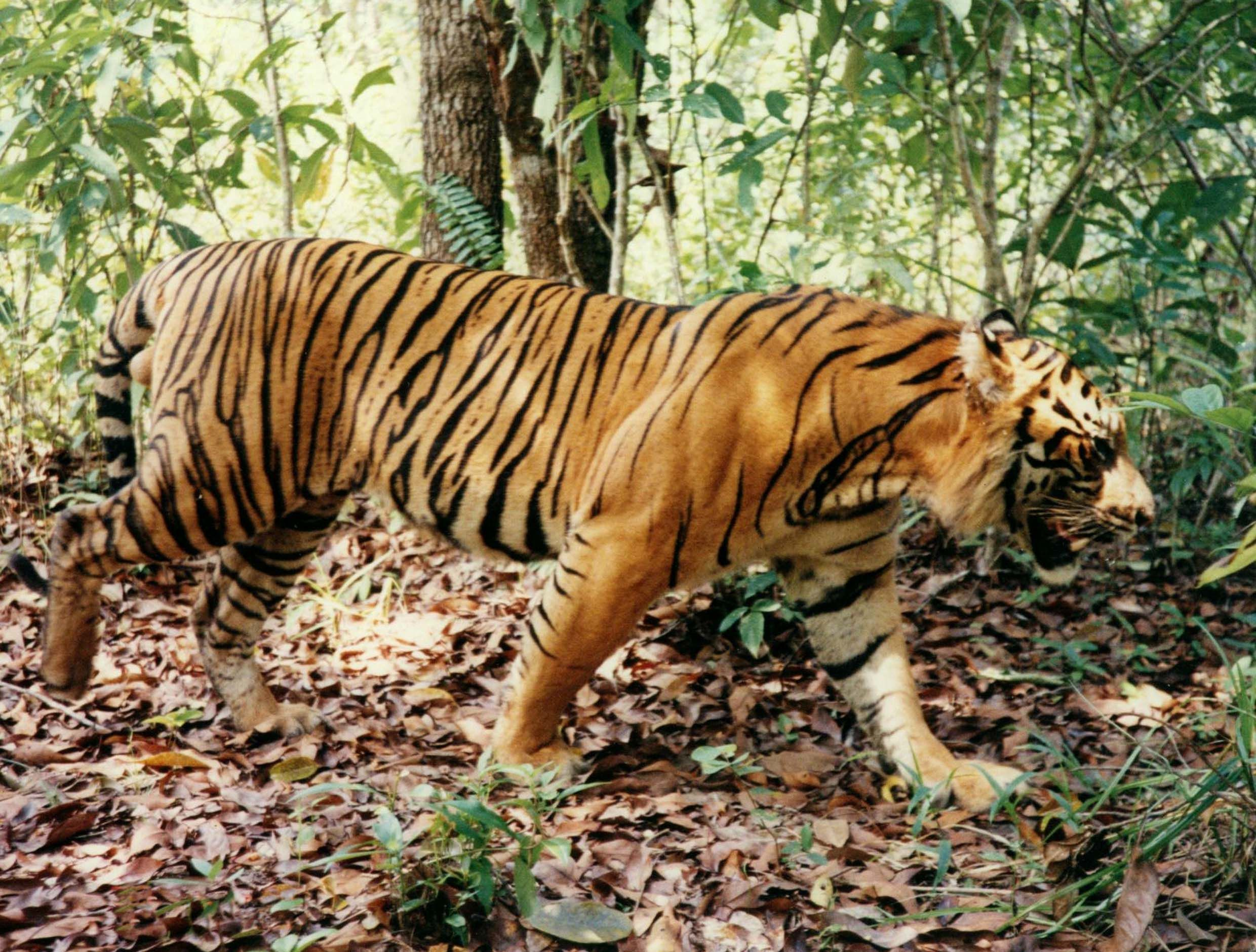 Sumatran Tiger What A Beaut Tiger Facts Tiger Pictures