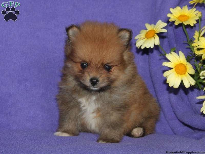 Bruster pomeranian puppy for sale in christiana pa