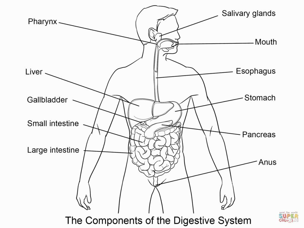 Digestive System Coloring Sheet