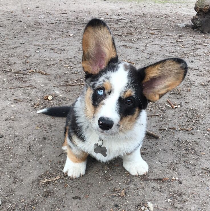 Darwin Welsh Corgi Cardigan Blue Merle With Tan Points And