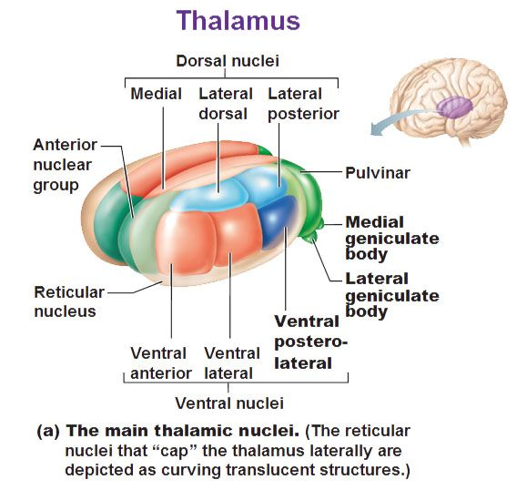 The Thalamus Is The Gateway To The Cerebral Cortex Assists With
