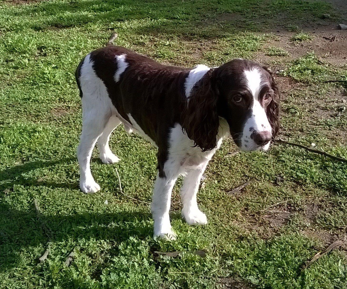 English Springer Spaniel Dog For Adoption In Campbell Ca Adn 447546 On Puppyfinder Com Gender Male Age S Dog Adoption English Springer Spaniel Spaniel Dog