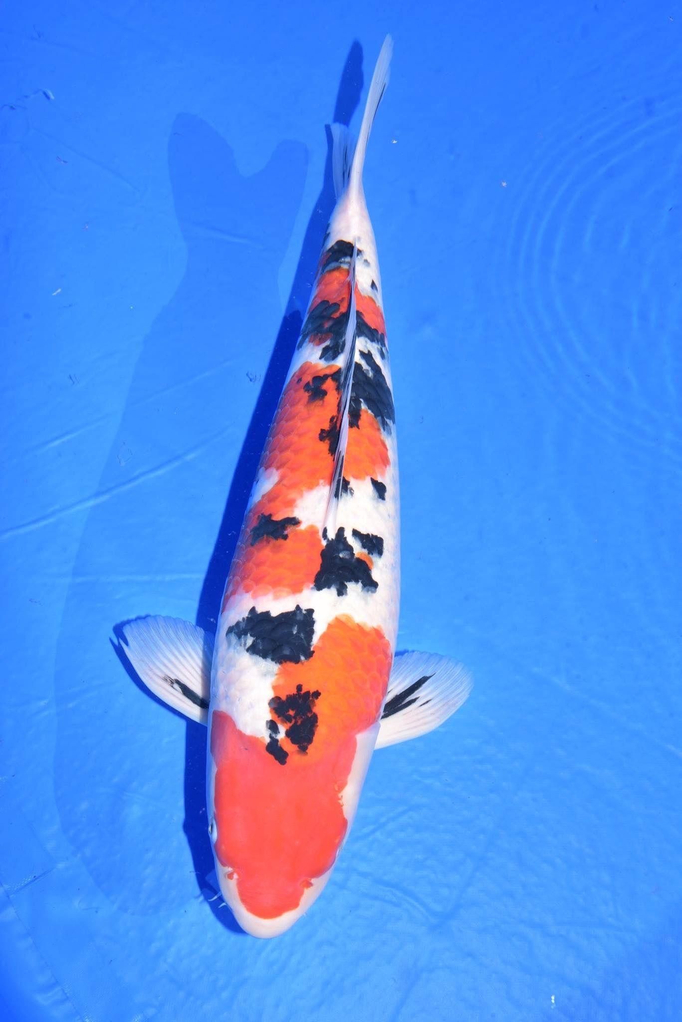 Pin By Valen On Garden Koi Fish Japanese Koi Koi
