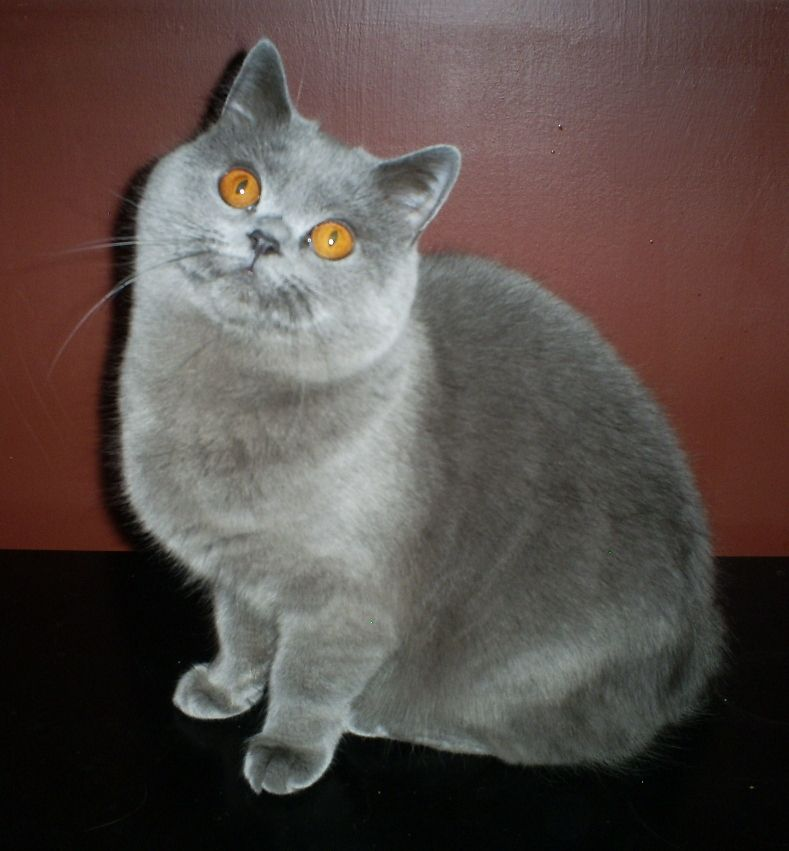 Blue British Shorthair female Cat scottish fold, British
