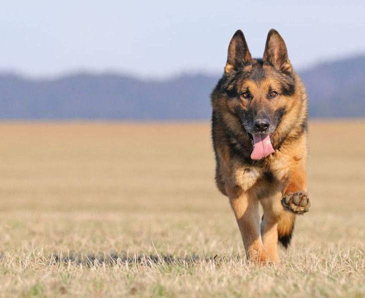 Male German Shepherd Names Your Boy Dog Will Love German